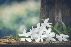 Jasmine season (Ro Cafe) Tags: spring stilllife flowers garden jasmine white wood bokeh nature botanical textured nikkormicro105f28 nikond600