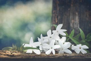 Jasmine season