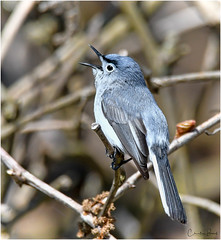 Blue-gray Gnatcatcher (Summerside90) Tags: birds birdwatcher bluegraygnatcatcher may spring migration nature wildlife ontario canada
