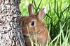 Conejo escondido (Casimemato) Tags: conejo rabbit airelibre naturaleza arbol jardines canela escondite hide look vigilancia
