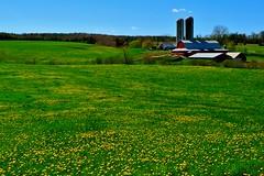 Shady Lane Farm in Old Barns, Nova Scotia (bluenosersullivan) Tags: davesullivan bluenosersullivan bluenoserdave novascotia farm agriculture atlanticcanada dandelions spring truro silo fields pasture