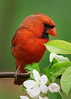 A6308588 (mbisgrove) Tags: red bird water sel100400gm a6300 cardinal canadian ontario sony flower