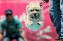 Might As Well Jump (Kathy Macpherson Baca) Tags: animal animals dog dogs cairnterrier dockdiving dogshow sport action jump