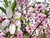 Odd One Out (Cassan Weish) Tags: cherry blossom blossoms pink red white pinkish whitish magenta fuchsia tree odd one shine sun nice random visual nrv