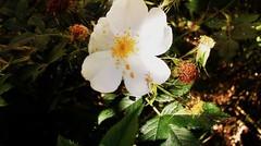 Rose flower, роза (Anna Gelashvili) Tags: цветокроза роза rose flower цветок flowers цветочки garden roseflower ვარდი თეთრი leaf лист ფოთოლი macro макрос