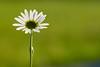 Margerite (Ernst_P.) Tags: aut blume blüte inzing österreich pflanze tirol toblaten wiese margerite sigma macro makro 105mm f28 flower flor