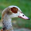 Egyptian goose head 3 (Artemis1947) Tags: sussex sheffieldpark nationaltrust animals birds geese egyptiangeese birdhead closeup