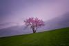 Blooming Alone (Ping...) Tags: minimalism alonetree alone tree