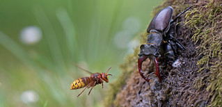 Stag beetle couple and hornet