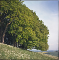 Copse (steve-jack) Tags: hasselblad 501cm 80mm cb fuji reala 100 film 6x6 120 furze knoll copse wood trees wiltshire tetenal c41 kit epson v500 cow parsley morgans hill