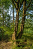 Enchanted tree in the morning sun (Marco van Beek) Tags: tree enchanted frest woods nature bushes holland europe beautiful world nikon d5000 afs dx nikkor 18200mm f3556g ed vr ii forest morning sun