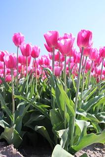 Pink tulip type