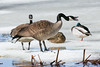 Geese and Ducks (Jenna.Lynn.Photography) Tags: mallards geese duck goose canadiangeese honk natur nature eos dof canon tamron 600mm tamron150600 wildlife wildlifephotography park marsh wildlifepreserve action sunny icy water snow bird birds springtime spring reflection