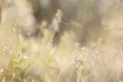 lentemorgen (de_frakke) Tags: morning morgen spinnenweb spiderweb flowers bloemen lente spring