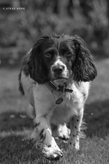 Billy (SteveH1972) Tags: blackandwhite monochrome bw dog dogs rescuedog pet animal pooch springerspaniel spaniel grass canon70200lf28usm canon700d 700d canon 70200 canon70200usml28nonis canon70200nonis nonis uk europe britain cute outside outdoor outdoors garden