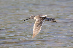 Long-billed Dowitcher (Tommy Quarles) Tags: canon 7d mark ii bird long billed dowitcher simpson county ky kentucky