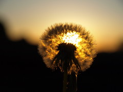⁉ (IS OZ Photo) Tags: bloom dandelion sonnenaufgang gegenlicht flickrfriday lowangle isoz olympus zuiko e510 backlight sunrise nahaufnahme macro makro pflanze plant ff wow superb 1454 43 ft fourthirds oly dslr spiegelreflex dof depthoffield light licht gutenmorgen goodmorning morgenrot perspective perspektive natura nature natur natureart naturart 2018 beauty brilliant tele beautifullight goldenestunde goldenhour