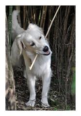 Album Chiens Clients Janvier-Avril 2018 (20) (Dalmatien-Golden-Braque) Tags: dalmatien goldenretriever braquedeweimar chien carcassonne elevage eleveur animaux dog breader