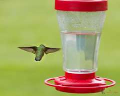 Powered Flyby (Donald.Gallagher) Tags: animals birds curves de delaware horizontal hummingbirds layers lenstagger nature newcastlecounty northamerica pikecreek public rubythroated sharpening summer typecolor typelightroom typephotoshop typeportrait typeshutterbuttonfocus typetelephoto usa woodcreek