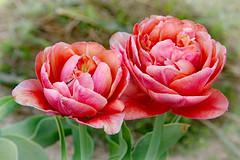 Tulips . Our garden! (Uhlenhorst) Tags: 2018 germany deutschland bavaria bayern flowers blumen plants pflanzen blossoms blüten