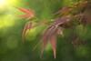 Japanese maple (Acer palmatum) in Spring (Stefan Zwi.) Tags: fächerahorn japanesemaple acerpalmatum meyeroptikgörlitzdiaplan28100 maple flora ahorn spring frühling bokeh light ngc