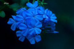 Plumbago auriculata (uko2) Tags: canon canoneos7dmark canon7dm2 canonflickraward 180mm flora flower macro bright water vase ngc