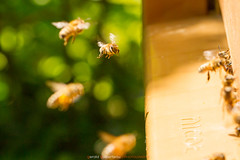 Abeilles à la ruche (Guibs photos) Tags: eos7d canonef100400mmf4556lisiiusm canon manfrotto mt055xpro3 abeille abeilles bee bees hive ruche nature animaux animals