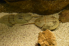 Horseshoe Crabs (Adventurer Dustin Holmes) Tags: 2018 wondersofwildlife horseshoecrabs animalia aquatic prehistoric water