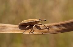 Lixus sp. (J Carrasco (mundele)) Tags: calzadilla extremadura insectos coleoptera cucujiformia curculionoidea curculionidae lixinae lixus