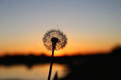 Dandelion sunset (Sven Bonorden) Tags: dandelion löwenzahn pusteblume sonnenuntergang sunset sundown abend evening yellow gelb silhouette emscherrückhaltebecken emschertal bokeh ickern castroprauxel ruhrgebiet