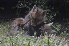 Pinned Down (McTumshie) Tags: croydon london animal cubs fox foxcub garden urban wildlife foxcubs cub
