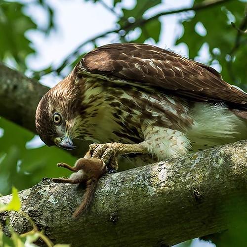 Hawk to chipmunk CPR #birds #hawk #nikon #nikon300mm #nature