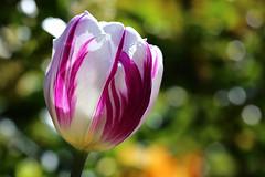 The joy of tulips (wjpostma) Tags: tulp tulip tulipa tulipan tulpe voorjaar spring colourful kleurrijk bright helder bokeh tulpen tulips tulipe flower flowers godscreation coth5 ngc npc