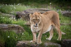 Maria (joannekerry) Tags: africanlion lion lioness cats bigcats canon wildlife yorkshirewildlifepark