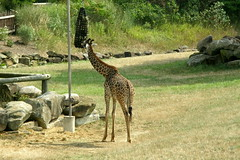 Cleveland Zoo (Tiger_Jack) Tags: clevelandzoo zoo zoos zoosofnorthamerica itazoooutthere giraffe giraffes