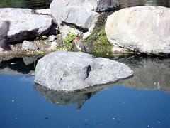 Green Heron Image (5) (Photo Nut 2011) Tags: ranchobernardo sandiego california greenheron webbpark