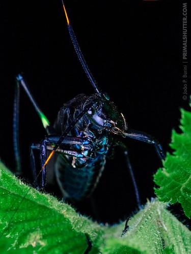 Tettigoniidae, Scaphura nigra