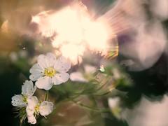 S E E K  T H E  L I G H T (Vivi Black) Tags: blumen nature blure bokeh macro outside licht sunset may spring flower goldenhour lightning light