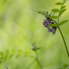 Summerfeeling (Mona_Oslo) Tags: wildflowers green nature plants lightgreen delicate summerflower purple gressholmen oslo monajohansson fragile tender summermeadow
