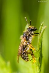 """Õietolmu - tulnukas !"" 🐝 🌻 👽 #mesilane #apis #õietolm #karvane #loodus #canon (Igor ""Ixa"" Nael) Tags: apis mesilane õietolm ronib loodus nature macro makro makrofoto macrofoto wild imelineloodus"