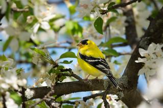 Chardonneret jaune mâle   Jardin botanique de Montréal   Montréal