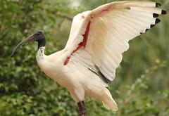 Australian White Ibis (kevinoconnor37) Tags: ibis h