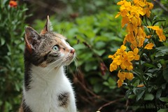 MARGOTJE HOUDT OOK VAN MUURBLOEMEN || MARGOT LOVES THE GOLDLACK IN OUR GARDEN (Anne-Miek Bibbe) Tags: cat gato chat katze gatto kat katten cats poes margot margootje margo gootje tuin garden jardin giardino jardim natuur nature muurbloemen goldlack wallflower girofléedesmurailles erysimumcheiri cheiranthuscheiri erysimumcheirisyncheiranthuscheiri canoneos700d canoneosrebelt5idslr annemiekbibbe bibbe nederland 2018