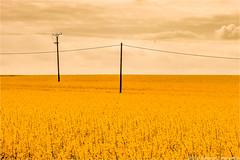 _rapsody (l--o-o--kin thru) Tags: raps rapsody yellow gelb baumberge wired blossom blüten