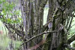 Little owl (Sarah Joy L.) Tags: owl littleowl bird birds birdofprey leeds yorkshire westyorkshire rodley rodleynaturereserve trees woods hidden wildlife wildlifephotography urbanwildlife sleeping