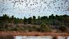 Morning traffic (Jean-Luc Peluchon) Tags: nature wild wildlife sauvage crane grue oiseau bird lac etang eau water lake pond envol vol flight fz1000 lumix france arbre tree migration sunrise matin