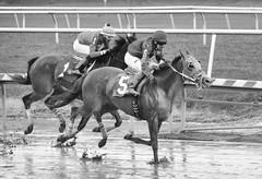 "2018-04-27 (62) r3 Weston Hamilton on #5 Greely's Striker - monochrome (JLeeFleenor) Tags: photos photography maryland md horse marylandracing marylandhorseracing laurelpark laurelracecourse jockey جُوكِي ""赛马骑师"" jinete ""競馬騎手"" dżokej jocheu คนขี่ม้าแข่ง jóquei žokej kilparatsastaja rennreiter fantino ""경마 기수"" жокей jokey người horses thoroughbreds equine equestrian cheval cavalo cavallo cavall caballo pferd paard perd hevonen hest hestur cal kon konj beygir capall ceffyl cuddy yarraman faras alogo soos kuda uma pfeerd koin حصان кон 马 häst άλογο סוס घोड़ा 馬 koń лошадь westonhamilton"