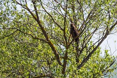 28apr18_Pomarina_01_Sinca Noua (Valentin Groza) Tags: acvila tipatoare mica aquila pomarina lesser spotted eagle transilvania transylvania romania bird prey