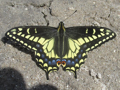 Papilio zelicaon (tigerbeatlefreak) Tags: papilio zelicaon insect butterfly anise swallowtail lepidoptera papilionidae nebraska