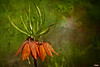 Crown Imperial Lily (MBates Foto) Tags: availablelight botanicals color crownimperiallily daylight devotional existinglight floral flowers garden nikkorlens nikon nikond810 nikonfx outdoors parks plants texture spokane washington unitedstates 99203